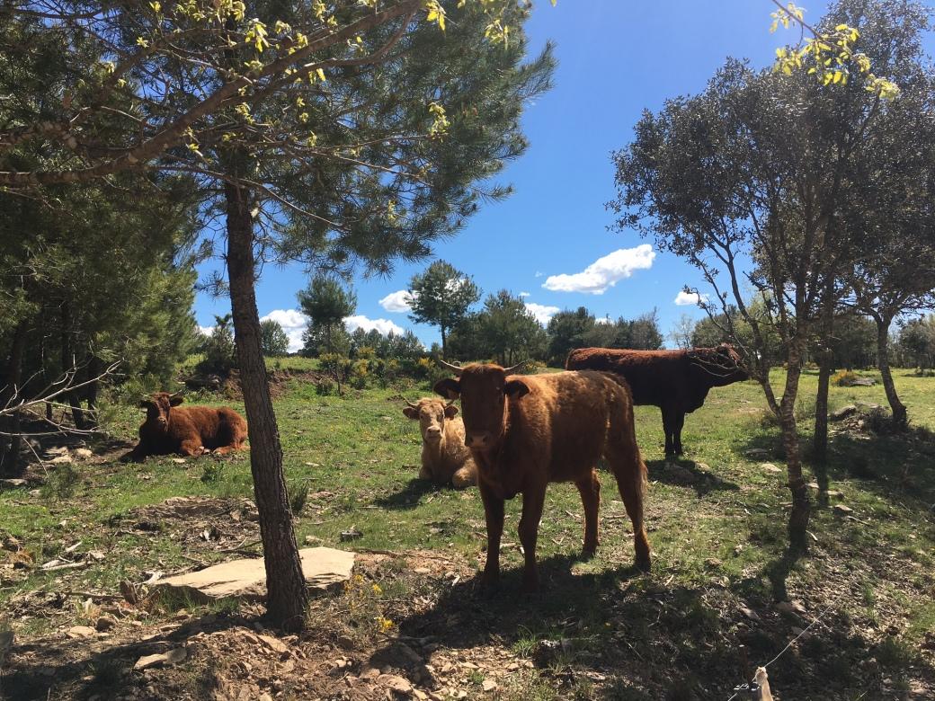 Torres_Cattle.jpg